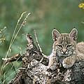 Bobcat Kitten Resting On A Log Idaho by Michael Quinton