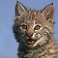 Bobcat Kitten by Tim Fitzharris