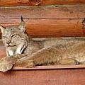 Bobcat by Lew Davis