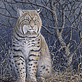 Bobcat by Mike Stinnett