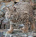 Bobcat On Rock by Jerry Fornarotto