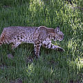 Bobcat On The Move by Shoal Hollingsworth
