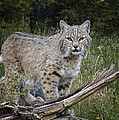 Bobcat On The Prowl by Elaine Haberland