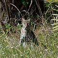 Bobcat On The Prowl by Patricia Twardzik
