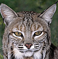 Bobcat Portrait Wildlife Rescue by Dave Welling
