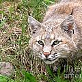 Bobcat Stalking by Sylvie Bouchard