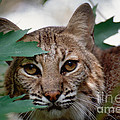 Bobcat With Maple Leaves by Bradford Martin