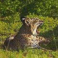 Bobcat Yawn by Beth Sargent
