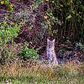 Bobcat by Zina Stromberg