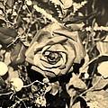 Boca Rose by Rob Hans