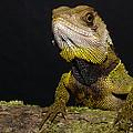 Bocourts Dwarf Iguana Choco Rainforest by Pete Oxford