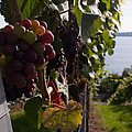 Bodensee Vineyards by Miguel Winterpacht