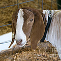 Boer Goat by Beverly Guilliams