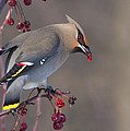 Bohemian Waxwing by Mircea Costina Photography
