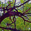 Bois D'arc by Gary Holmes