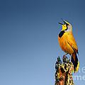 Bokmakierie Bird Calling by Johan Swanepoel