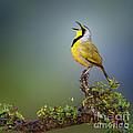 Bokmakierie Bird - Telophorus Zeylonus by Johan Swanepoel