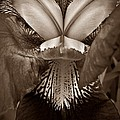 Bold Iris Sepia by Chalet Roome-Rigdon