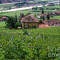 Bolzano Vineyard  by Bob Phillips