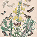 Bombycoidae - Acronyctidae - Orthosidae by W Kirby
