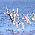 Bonaparte's Gulls 5 by Bob Richter