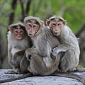 Bonnet Macaque Trio Huddling India by Thomas Marent