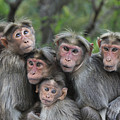 Bonnet Macaques Huddling Western Ghats by Thomas Marent