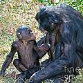Bonobo Adult Talking To Juvenile by Millard H. Sharp
