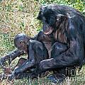 Bonobo Adult Tickeling Juvenile by Millard H. Sharp
