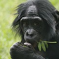Bonobo Eating by Dan Sproul