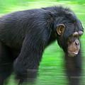 Bonobo Pan Paniscus Knuckle-walking by Cyril Ruoso
