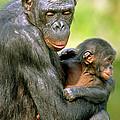 Bonobo Pan Paniscus Mother And Infant by Millard H. Sharp