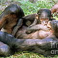Bonobos by Millard H. Sharp