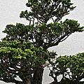 Bonsai Pine by Susan Herber
