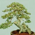 Bonsai Tree by Cristina Pedrazzini/science Photo Library