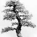 Bonsai Tree by Sebastian Musial