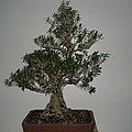 bonsai tree Serissa Foetida live tree art exposed root over rock by Ricks  Tree Art