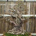Bonsai Treet - Us Botanic Garden - 01136 by DC Photographer