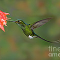 Booted Racket-tail Hummingbird by Anthony Mercieca