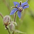 Borage Wildflower - Borage Officinalis - Annual Herb by Mother Nature