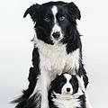 Border Collie Dog & Puppy by John Daniels