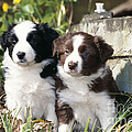 Border Collie Dog, Two Puppies by John Daniels