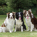 Border Collie Dogs by John Daniels