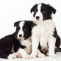 Border Collie Dogs, Two Puppies by John Daniels