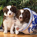 Border Collie Puppies In Plant Pot by John Daniels