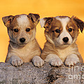 Border Collie Puppies by Rolf Kopfle