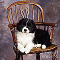 Border Collie Puppy On Chair by John Daniels