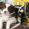 Border Collie Puppy With Sewing Machine by John Daniels