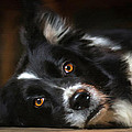 Border Collie by Robert Smith