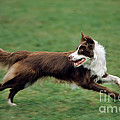 Border Collie Running by Johan De Meester